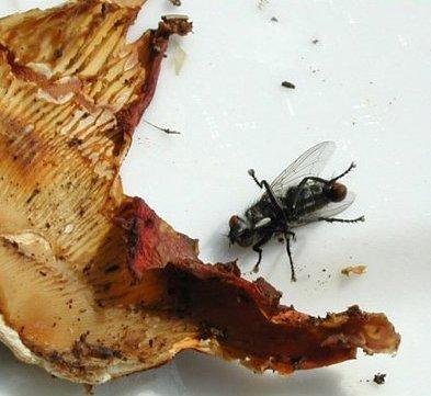 amanita mosca 2