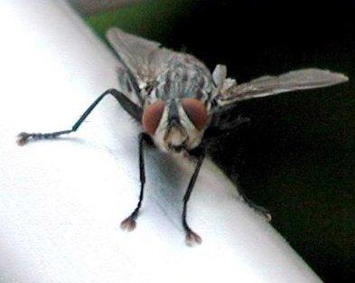 amanita mosca 3