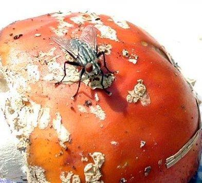 amanita mosca
