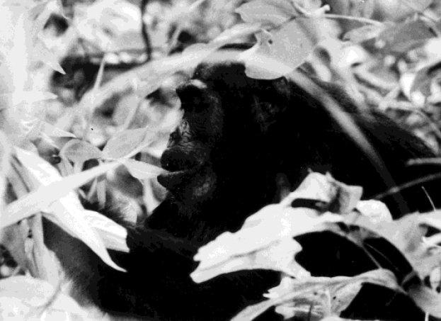 Scimpanzé che ingerisce una foglia di Aspilia mossambicensis (da Huffman, 1997, fig. 2, p. 177)