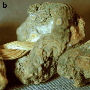 Campione di peyote ritrovato nella sepoltura CM-79 del sito archeologico di Cuatro Ciénegas, Coahuiltecan, Texas (da Terry et al., 2006, fig. 3b)