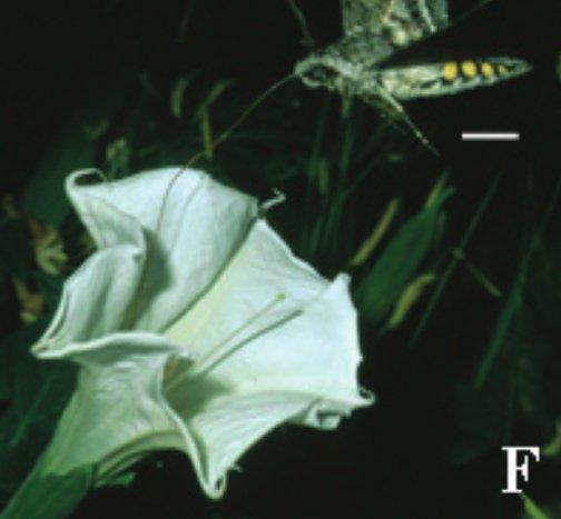 La sfinge Manduca sexta mentre si ciba del nettare di Datura wrightii (da Raguso et al., 2003, p. 882, fig. 3f)