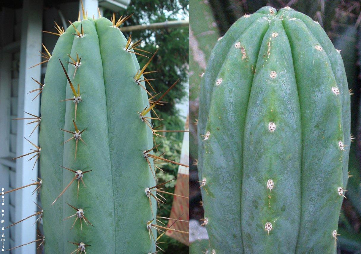 Le due specie di San Pedro: (sx) Echinopsis (Trichocereus) peruvianus; (dx) Echinopsis (Trichocereus) pachanoi