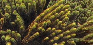 """Specie di Huperzia chiamata popolarmente """"huaminga"""", impiegata come emetico"""