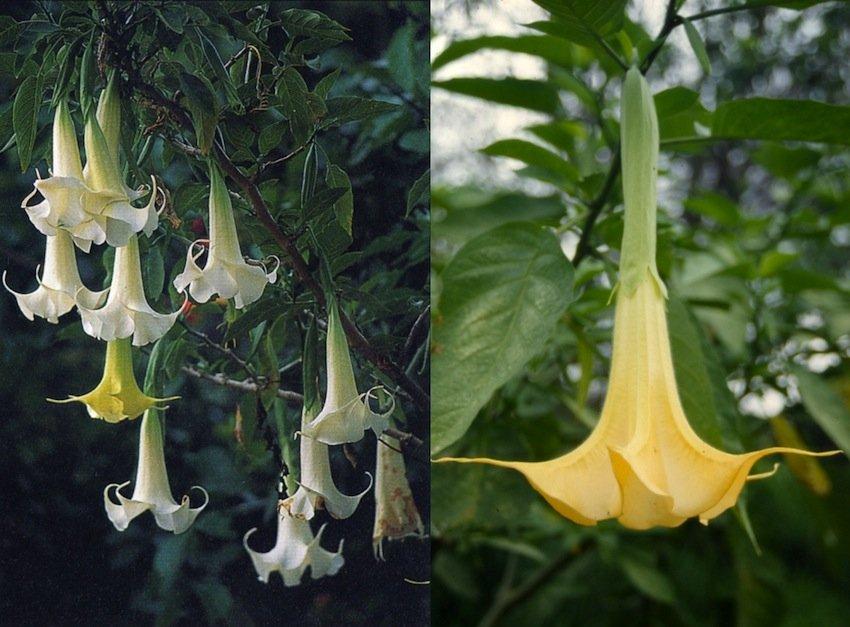 "(sx) Fiori di Brugmansia arborea (""misha oso""); (dx) Fiore di Brugmansia aurea (""misha galga"")"