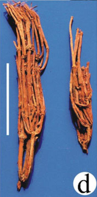 Rametti di efedra ritrovati sulle mummie del Cimitero di Gumugou, in Cina (Da Zheng et al., 2017, fig. 5d, p. 149)