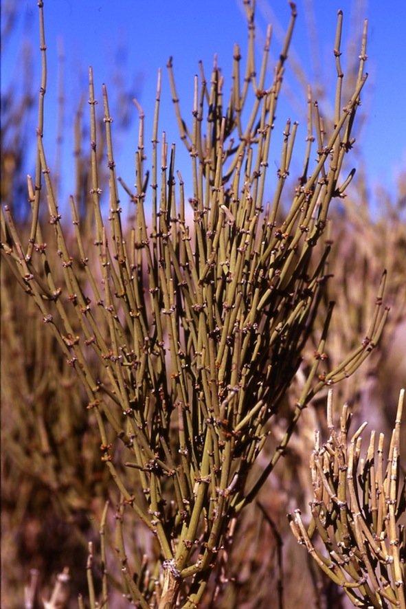 Specie di Ephedra (deserto di Atacama, Cile)