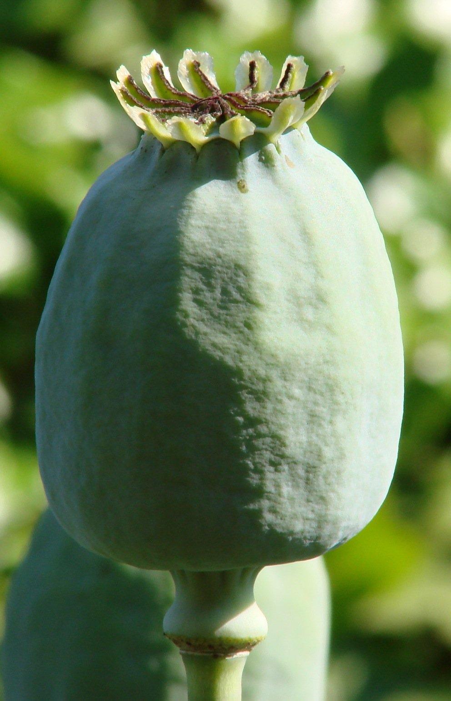 Una forma allungata della capsula del papavero da oppio
