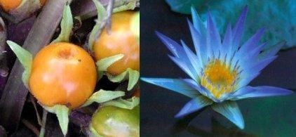 A sinistra frutto di mandragora; a destra fiore di ninfea azzurra