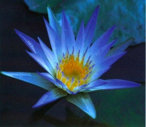 ninfea-azzurra-slocum
