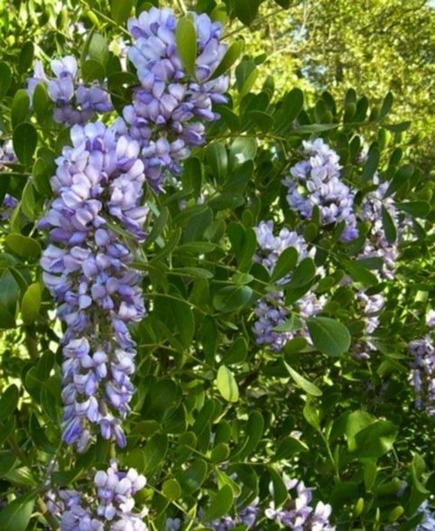 Fiordi di Sohora secundiflora (Ortega) DC.