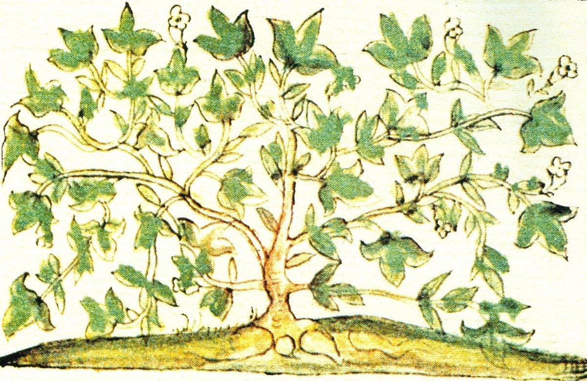 Rappresentazione dell'ololiuhqui nel Codice Fiorentino, Libro 11, disegno 581