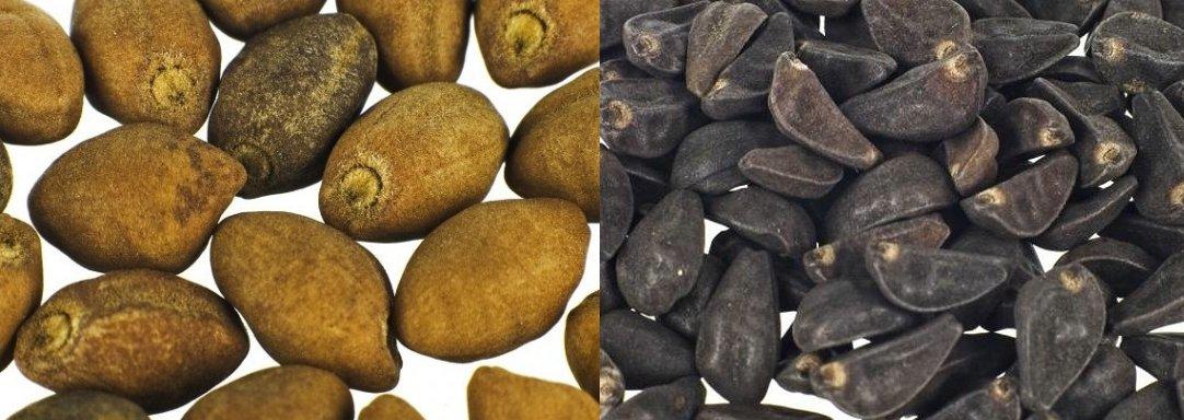 (sx) semi di Turbina corymbosa (ololiuhqui o badoh); (dx) semi di Ipomoea violacea (badoh negro)