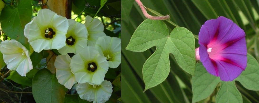 Confronto fra i fiori di Turbina corymbosa (sx) e Ipomoea violacea (dx)