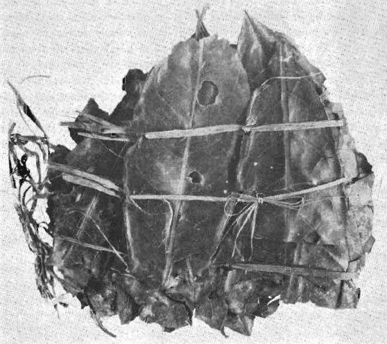 Uno dei quattro mazzi di foglie di Ilex guayusa ritrovati nel corredo funebre di Niño Korin (da Schultes, 1972, fig. 1, p. 117)