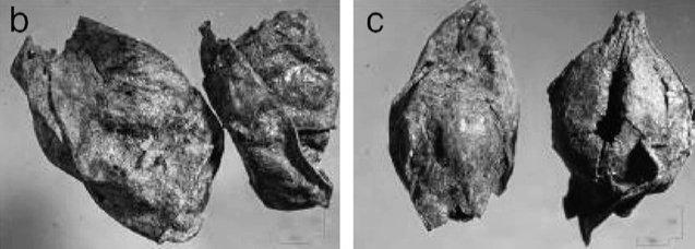 Chicchi d'uva selvatica pressati dal sito di Dikili Tash, Grecia, V millennio a.C. (da Garnier & Valamoti, 2016, fig. 1, p. 198)