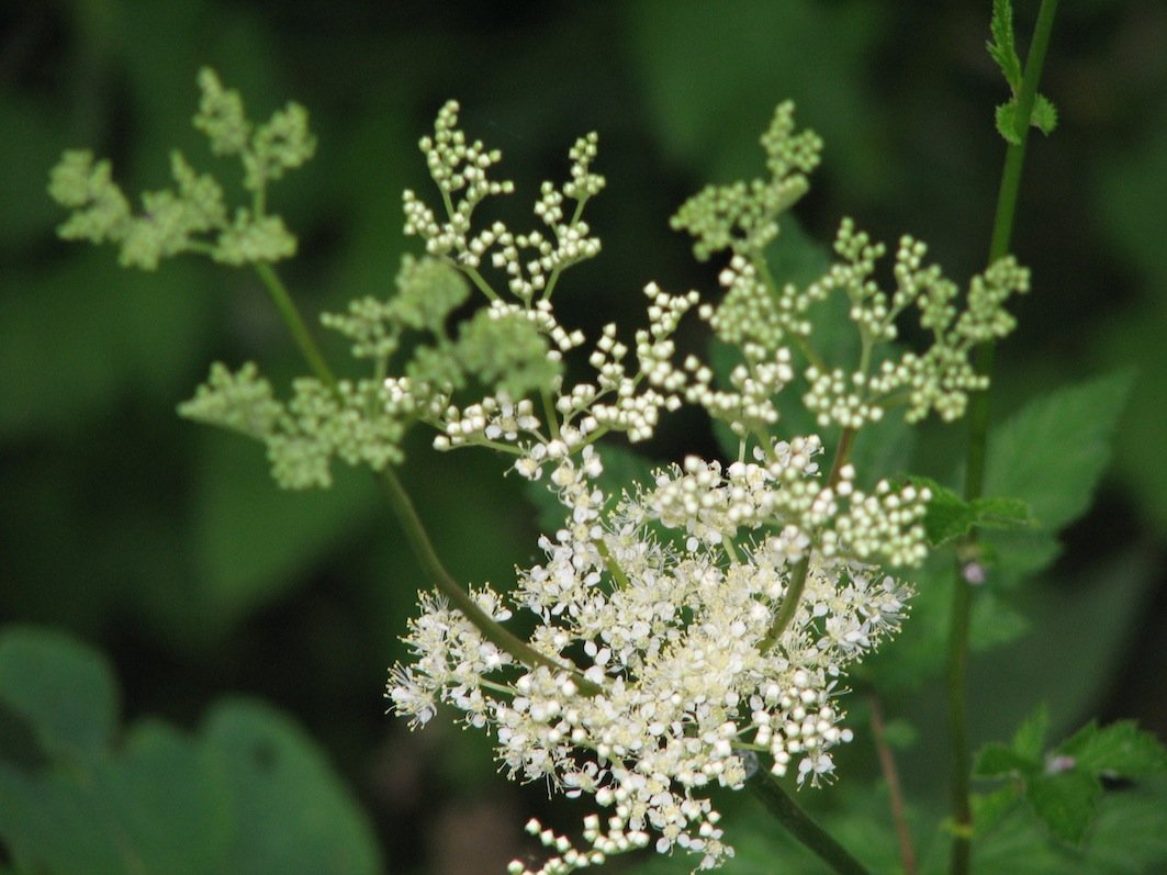 Fiore di Filipendula ulmaria, un comune additivo europeo all'idromele