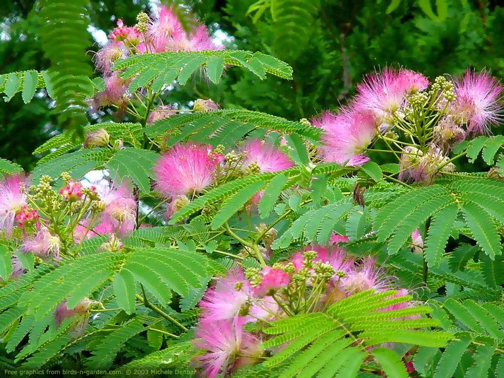 Mimosa tenuiflora (foto dal sito DMT-Nexus)