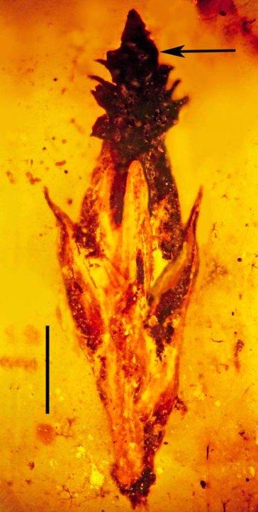 Sclerozio di paleo-ergot (Palaeoclaviceps parasiticus) su spiga in un fossile di ambra rinvenuto in Myanmar (Birmania) e datato a 100 milioni di anni (da Poinar et al., 2015, fig. 1, p. 14)
