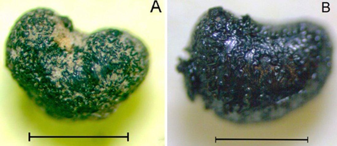 Semi di Nicotiana corymbosa: (sx) campione archeologico carbonizzato proveniente dal sito Las Morrenas 1, Cile centrale; (dx) campione moderno carbonizzato artificialmente (da Planella et al., 2012a, fig. 5, p. 213)